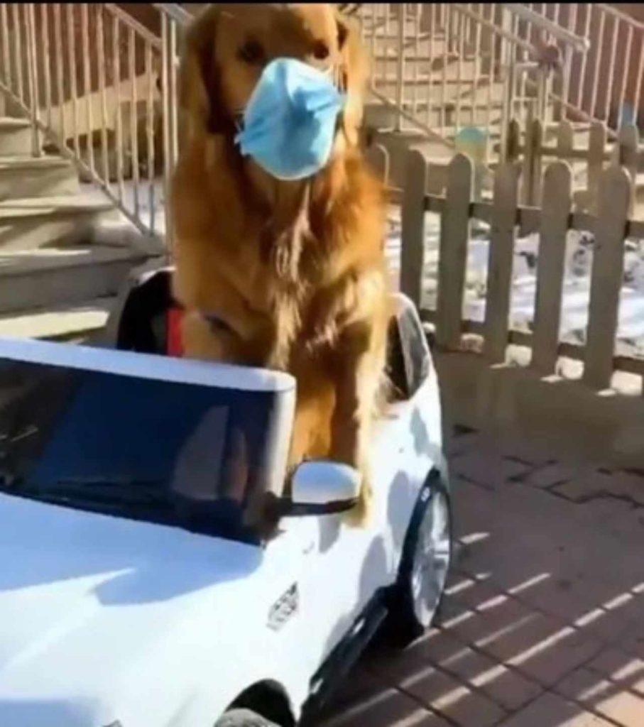 cane con mascherina in auto